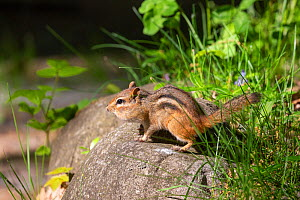 Eastern chipmunk (Tamias striatus) Michigan, USA, June.  -  Sylvain Cordier