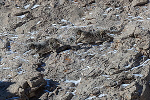 Snow leopard (Uncia uncia) pair, male pursuing female during mating season. On rock slope in Altai Mountains, West Mongolia. February.  -  Sylvain Cordier