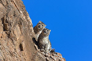 RF-Snow leopard (Uncia uncia) pair sitting on ledge of rockface. Altai Mountains, West Mongolia. February. (This image may be licensed either as rights managed or royalty free)  -  Sylvain Cordier