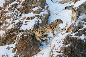 Snow leopard (Uncia uncia) pair on snow covered rocky slope. Altai Mountains, West Mongolia. February.  -  Sylvain Cordier