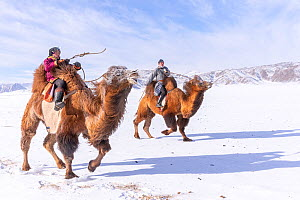 Two Mongolians racing on Bactrian camels (Camelus bactrianus) on snow covered plain, Altai Mountains in background. Kanhman, Mongolia. February 2019.  -  Sylvain Cordier