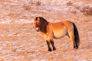 Przewalski's horse (Equus ferus przewalskii), species reintroduced in 1993. Hustai National Park, Mongolia. February.  -  Sylvain Cordier