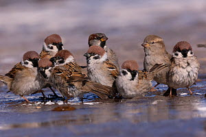 Tree sparrow (Passer montanus) and House sparrow (Passer domesticus) group bathing in puddle. Hustai National Park, Mongolia. February.  -  Sylvain Cordier