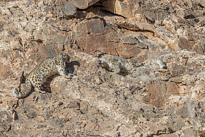 Snow leopard (Uncia uncia) pair approaching each other on rocky slope in Altai Mountains. West Mongolia. February. Sequence 2/3.  -  Sylvain Cordier