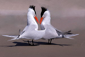 RF-Royal tern (Thalasseus maximus) pair in courtship ritual. Puerto San Carlos, Magdalena Bay, Baja California Sur, Mexico. (This image may be licensed either as rights managed or royalty free)  -  Sylvain Cordier