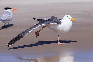 Western gull (Larus occidentalis) stretching wing on beach, Royal tern (Thalasseus maximus) in background. Magdalena Bay, Puerto San Carlos, Baja California Sur, Mexico.  -  Sylvain Cordier