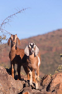 Two Goats standing amongst rocks. San Francisco, Sierra de San Francisco, Mulege, Baja California Sur, Mexico.  -  Sylvain Cordier