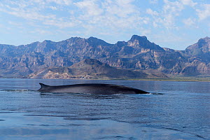 RF-Fin whale (Balaenoptera Physalus) surfacing in coastal waters, mountains in background. Loreto Bay National Marine Park, Baja California Sur, Mexico. (This image may be licensed either as rights ma...  -  Sylvain Cordier