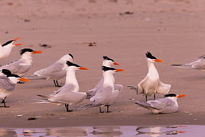 Royal tern (Thalasseus maximus) group on beach. Magdalena Bay, Puerto San Carlos, Baja California Sur, Mexico.  -  Sylvain Cordier