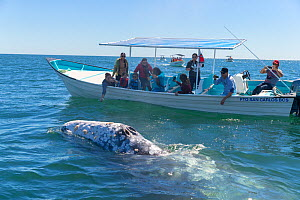 Grey whale (Eschrichtius robustus) blow hole above water, tourists observing from boat in background. Magdalena Bay, Puerto San Carlos, Baja California Sur, Mexico. 2017  -  Sylvain Cordier