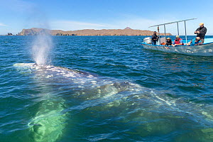 Grey whale (Eschrichtius robustus) blowing, tourists observing from boat in background. Magdalena Bay, Puerto San Carlos, Baja California, Mexico. 2017.  -  Sylvain Cordier
