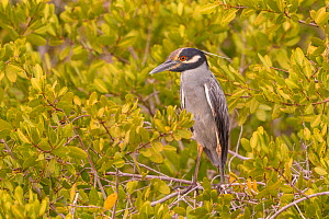 Yellow-crowned night heron (Nyctanassa violacea) perched in tree. Puerto San Carlos, Baja California Sur, Mexico.  -  Sylvain Cordier