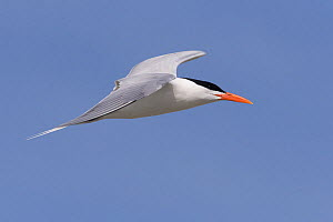Royal tern (Thalasseus maximus) in flight. Puerto San Carlos, Magdalena Bay, Baja California Sur, Mexico.  -  Sylvain Cordier