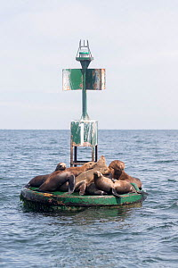 California sea lion (Zalophus californianus), group resting on buoy. Puerto San Carlos, Magdalena Bay, Baja California Sur, Mexico.  -  Sylvain Cordier