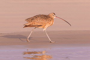 Long-billed curlew (Numenius americanus) walking along shore. Puerto San Carlos, Magdalena Bay, Baja California Sur, Mexico.  -  Sylvain Cordier