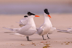Royal tern (Thalasseus maximus) pair in courtship display. Puerto San Carlos, Magdalena Bay, Baja California Sur, Mexico.  -  Sylvain Cordier