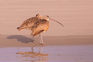 Long-billed curlew (Numenius americanus), two standing at water's edge. Puerto San Carlos, Magdalena Bay, Baja California Sur, Mexico.  -  Sylvain Cordier