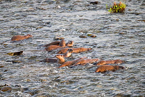 Smooth-coated otter (Lutrogale perspicillata) group fishing in Ramganga river. Jim Corbett National Park, Uttarakhand, India.  -  Sylvain Cordier