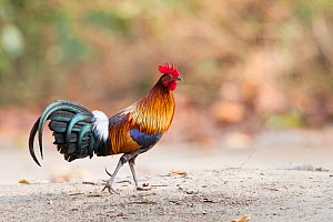 Red junglefowl (Gallus gallus) cock. Jim Corbett National Park, Uttarakhand, India.  -  Sylvain Cordier