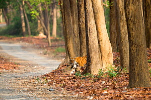 Bengal tiger (Panthera tigris tigris) emerging from Sal (Shorea robusta) forest before crossing path. Jim Corbett National Park, Uttarakhand, India.  -  Sylvain Cordier
