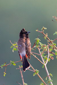 Red-vented bulbul (Pycnonotus cafer) perched on branch. Jim Corbett National Park, Uttarakhand, India.  -  Sylvain Cordier