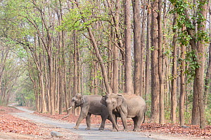 Asian elephant (Elephas maximus), two crossing a walkway through Sal (Shorea robusta) forest. Jim Corbett National Park, Uttarakhand, India.  -  Sylvain Cordier