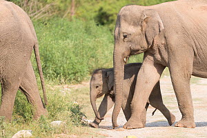 Asian elephant (Elephas maximus) female and calf walking with herd. Jim Corbett National Park, Uttarakhand, India.  -  Sylvain Cordier
