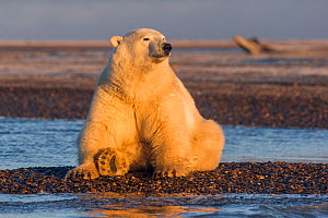 RF-Polar bear (Ursus maritimus) sitting on barrier island, basking in morning light. Near Kaktovik, Arctic National Wildlife Refuge, Alaska, USA. October. (This image may be licensed either as rights...  -  Sylvain Cordier