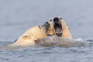 Polar bear (Ursus maritimus) two fighting or playing in water. Near Kaktovik, Arctic National Wildlife Refuge, Alaska, USA. October.  -  Sylvain Cordier