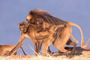 Gelada baboon (Theropithecus gelada) female carrying baby on back, dominant male in background. Debre Libanos, Rift Valley, Ethiopia.  -  Sylvain Cordier