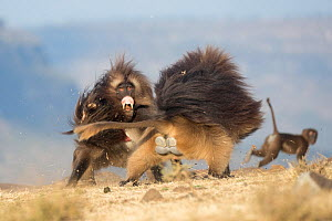 Gelada baboon (Theropithecus gelada) two males fighting, another Baboon in background. Debre Libanos, Rift Valley, Ethiopia. 2017.  -  Sylvain Cordier