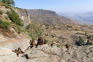 View into valley and Gelada baboon (Theropithecus gelada) group of females with young and a male. Near cliff where Baboons spend the night. Debre Libanos, Rift Valley, Ethiopia. 2017.  -  Sylvain Cordier