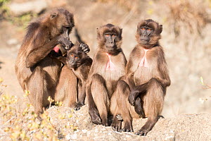 RF-Gelada baboon (Theropithecus gelada) group, one grooming another. Debre Libanos, Rift Valley, Ethiopia. (This image may be licensed either as rights managed or royalty free)  -  Sylvain Cordier