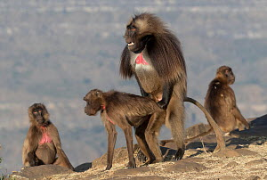 Gelada baboon (Theropithecus gelada) group including dominant male mating with female. Debre Libanos, Rift Valley, Ethiopia.  -  Sylvain Cordier