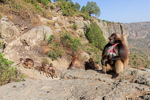Gelada baboon (Theropithecus gelada) group, male in foreground with females and young in background. Near cliff where Baboons spend the night. Debre Libanos, Rift Valley, Ethiopia.  -  Sylvain Cordier