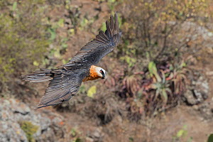 Bearded vulture (Gypaetus barbatus) in flight. Debre Libanos, Rift Valley, Ethiopia.  -  Sylvain Cordier