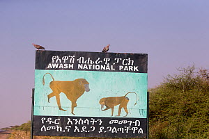 Sign in Awash National Park about Hamadryas baboon (Papio hamadryas) along road. Rift Valley, Ethiopia.  -  Sylvain Cordier