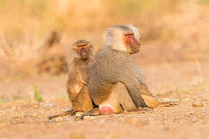 Hamadryas baboon (Papio hamadryas), two, dominant male sitting with member of family. Awash National Park, Rift Valley, Ethiopia.  -  Sylvain Cordier