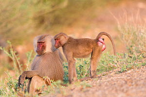 Hamadryas baboon (Papio hamadryas), two, dominant male sitting and female standing. Awash National Park, Rift Valley, Ethiopia.  -  Sylvain Cordier