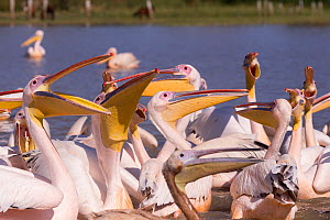 Great white pelican (Pelecanus onocrotalus) group waiting for fish remains to be thrown by fishermen. Lake Ziway, Rift Valley, Ethiopia.  -  Sylvain Cordier