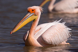 Great white pelican (Pelecanus onocrotalus) on water, portrait. Lake Ziway, Rift Valley, Ethiopia.  -  Sylvain Cordier