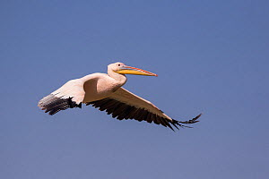 Great white pelican (Pelecanus onocrotalus) in flight. Lake Ziway, Rift Valley, Ethiopia.  -  Sylvain Cordier