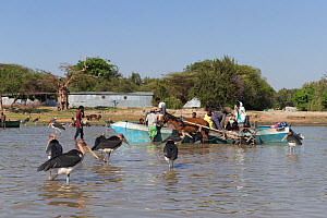 Marabou stork (Leptoptilos crumenifer) waiting for discarded fish to be thrown from boat by fishermen. Lake Ziway, Rift Valley, Ethiopia. 2017.  -  Sylvain Cordier