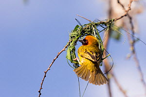 RF-Village weaver (Ploceus cucullatus) male building nest. Lake Ziway, Rift Valley, Ethiopia. (This image may be licensed either as rights managed or royalty free)  -  Sylvain Cordier