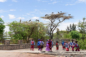 Marabou stork (Leptoptilos crumenifer) nests on trees in town, school children in foreground. Ziway Lake Ziway, Rift Valley, Ethiopia. 2017.  -  Sylvain Cordier