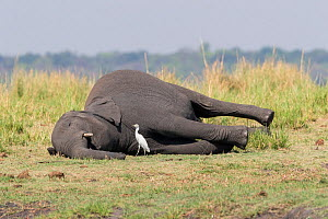 African elephant (Loxodonta africana) carcass and Egret (Egretta sp), Elephant dead from anthrax. Chobe National Park, Botswana.  -  Sylvain Cordier