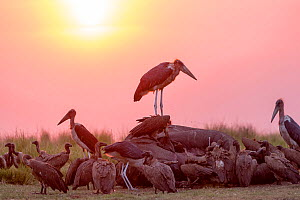 Marabou stork (Leptoptilos crumenifer) and group of vultures including White-backed vulture (Gyps africanus) feeding on African elephant (Loxodonta africana) carcass at sunset. Elephant died from anth...  -  Sylvain Cordier