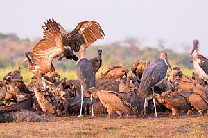 White-backed vulture (Gyps africanus) group and Marabou storks (Leptoptilos crumenifer) feeding on African elephant (Loxodonta africana) carcass. Elephant died from anthrax. Chobe National Park, Botsw...  -  Sylvain Cordier