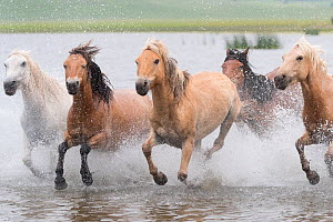 RF-Herd of horses running through water. Bashang Grassland, near Zhangjiakou, Hebei Province, Inner Mongolia, China. (This image may be licensed either as rights managed or royalty free)  -  Sylvain Cordier