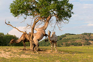Bactrian camel (Camelus bactrianus), three beneath tree, one standing on hind legs to feed on leaves from tree. Bashang Grassland, near Zhangjiakou, Hebei Province, Inner Mongolia, China. July 2018.  -  Sylvain Cordier